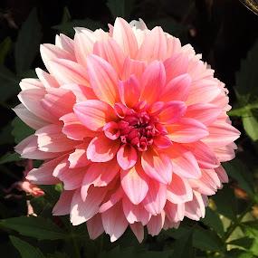 Pink Dahlia by Carol Leynard - Flowers Single Flower ( garden planter, dahlia, pink dahlia, dwarf dahlia )