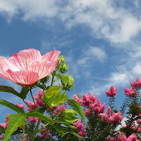 Pink Flower by Bryant Mountjoy - Flowers Flower Gardens ( sky, pink, bloom, nature, flower )