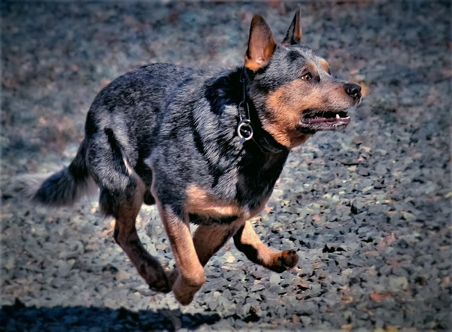 I'm Gona catch it! by Sue Delia - Animals - Dogs Running ( play, run, australian cattle dog, dog,  )