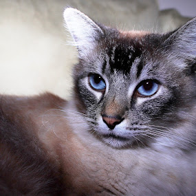by Karoner Gaming - Animals - Cats Portraits