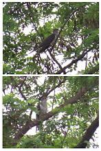 Photo: 撮影者:若狭誠 ホトトギス タイトル:2羽のホトトギス 観察年月日:2015年6月5日 羽数:2羽 場所:小宮公園付近 区分:托卵 メッシュ:拝島7A コメント:ホトトギス2羽が鳴いていた。1羽が林のなかの1本の木に止まり鳴いていると突然飛び去り、その木に別の1羽が止まった。場所取りの争いでしょうか。
