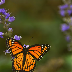 Firelight by Chandal Chenier - Animals Insects & Spiders ( orange, butterfly, purple, flower )