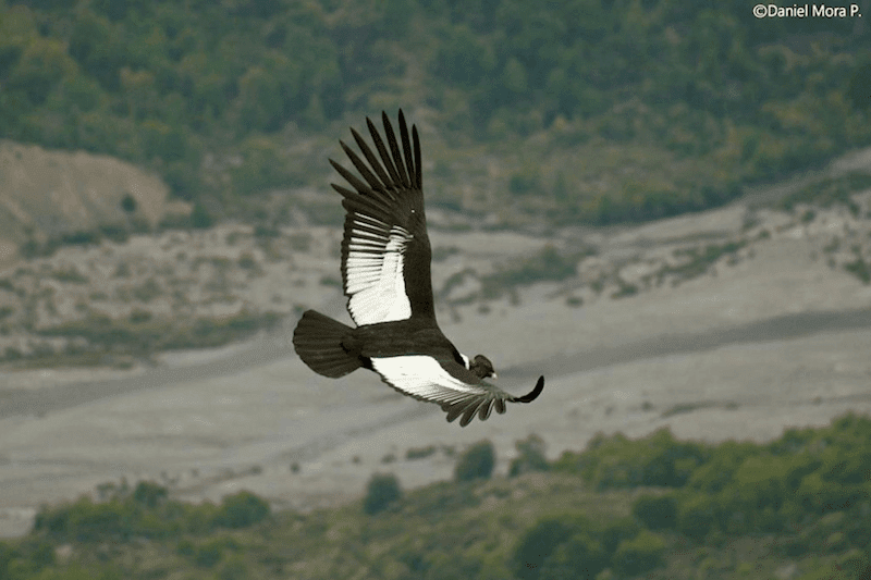 a condor flying high above the mountains.