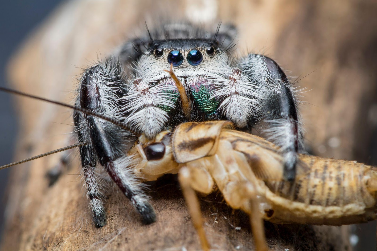 There are a couple of things you need to ensure to provide a healthy diet for your cobalt blue tarantula. Check out this article to learn more about it.