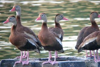 Photo: Black-belllied Whistling-Ducks