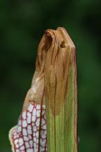 Photo: Damage by Exyra semicrocea moth in Sarracenia leucophylla. Photo: Thomas Carow.