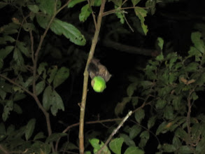 Photo: Fruit bat eating