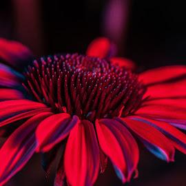 red by Ashie Elizabeth - Flowers Single Flower ( fowers )