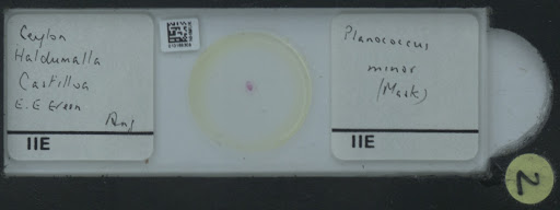 Planococcus minor (Maskell, 1897)