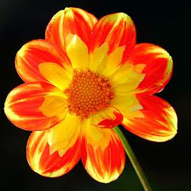 Dalhia n000224 by Gérard CHATENET - Flowers Single Flower