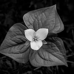 Trillium in Black & White by Craig Pifer - Nature Up Close Flowers - 2011-2013 ( bonesteele park, oregon, monochrome, black and white, western trillium, trillium ovatum, bloom, trillium, floral, flower )