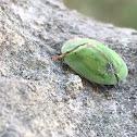 Thistle tortoise beetle