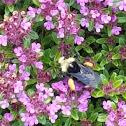 Yellow-faced Bumblebee