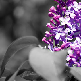Lilac by Andy Bigelow - Flowers Flowers in the Wild