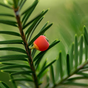 yew by S Stoye - Nature Up Close Trees & Bushes ( macro )