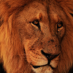 King of the Jungle by Praveen Kumar - Animals Lions, Tigers & Big Cats