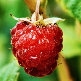 Raspberry  by Nelida Dot - Food & Drink Fruits & Vegetables ( red, mountain, fruit, tasty, summer, food )