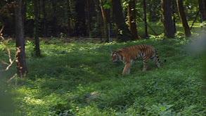 The Tiger's Dance thumbnail