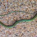 Paradise tree snake, paradise flying snake