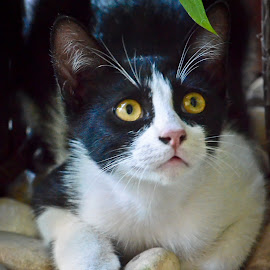 Sapi by Curly Yanni - Animals - Cats Kittens (  )