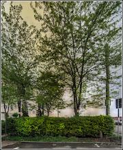 Photo: Glădița,  plătica   (Gleditschia triacanthos) - de pe Calea Victoriei, Mr.III - 2017.05.05