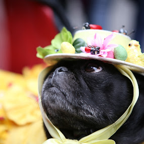 Dog With Bonnet by VAM Photography - Animals - Dogs Portraits ( easter parade, bonnet, nyc, places, dog,  )