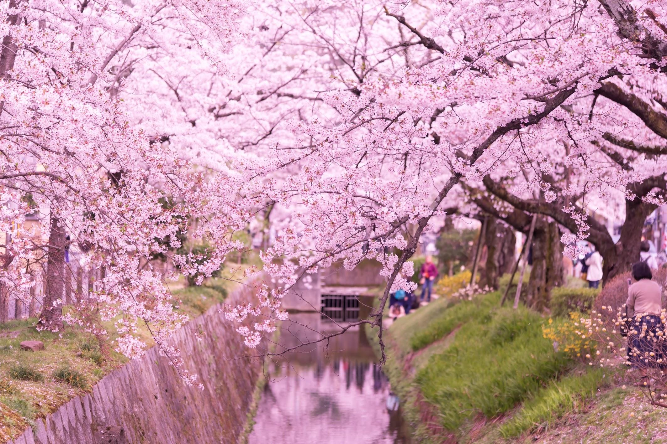 京都 桜 哲学の道5