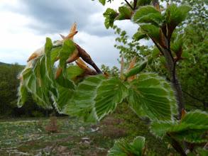Photo: jeunes pousses de hêtre