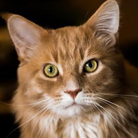 Bruce by Lindberg-Photo.dk, Mathias Lindberg - Animals - Cats Portraits ( lindberg, varde, cat, main coone, lindberg-photo, bruce, maine coon, lindberg-photo.dk, mathias lindberg, denmark,  )