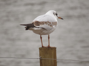 Photo: 24 Jan 14 Priorslee Flash This 1st winter Black-headed Gull is at the extreme young end of the plumage range with all the median and lesser coverts still broadly-edged brown and the primaries without any white. (Ed Wilson)