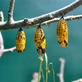 Tropical Wings Cocoons by Dean Thorpe - Animals Insects & Spiders