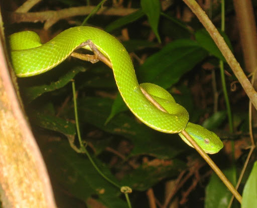 Pit viper Wallpapers HD FREE