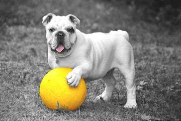 bulldog-601714_960_720.jpg