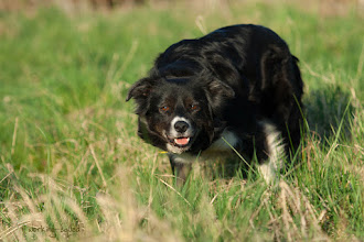 Photo: Border Collie Cooma