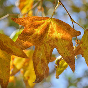 just hanging by Rose Johnson - Nature Up Close Leaves & Grasses ( pwcfallleaves, autumn, fall, yellow, leaves )
