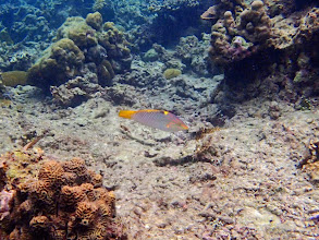 Photo: Halichoeres hortulanus (Checkerboard wrasse), Miniloc Island Resort reef, Palawan, Philippines.