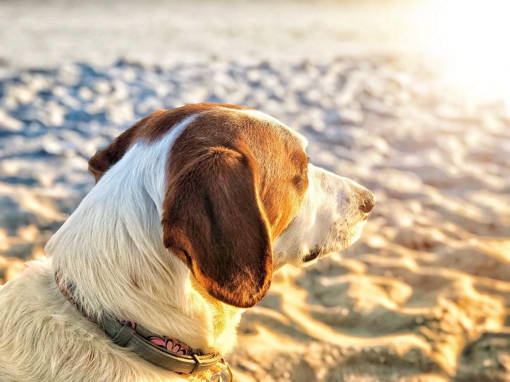 closeup photo of brown dog on sand