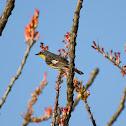 Audubon's Warbler (Yellow-Rumped)