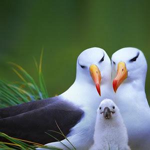 AlbatrossFamily.jpg