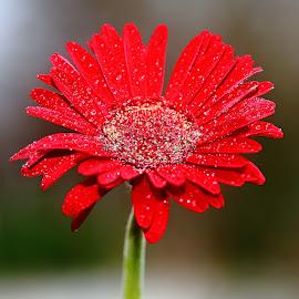by Gérard CHATENET - Flowers Single Flower