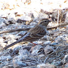 Chipping Sparrow- Winter Plumage
