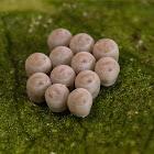 Shield Bug Eggs