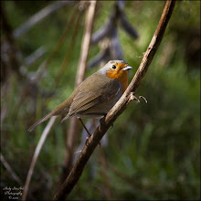Photo: Bird N°3 - European Robin - Erithacus rubecula The adult European Robin is 12.5–14.0 cm (5.0–5.5 in) long and weighs 16–22 g (9/16–13/16 oz), with a wingspan of 20–22 cm (8–9 in). The male and female bear similar plumage; an orange breast and face lined by a bluish grey on the sides of the neck and chest. The upperparts are brownish, or olive-tinged in British birds, and the belly whitish, while the legs and feet are brown. The bill and eyes are black. Juveniles are a spotted brown and white in colouration, with patches of orange gradually appearing. Well known to British and Irish gardeners, it is relatively unafraid of people and likes to come close when anyone is digging the soil, in order to look out for earthworms and other food freshly turned up. Indeed, the robin is considered to be a gardener's friend and for various folklore reasons the robin would never be harmed. Male Robins are noted for their highly aggressive territorial behaviour. They will attack other males that stray into their territories, and have been observed attacking other small birds without apparent provocation. Such attacks sometimes lead to fatalities, accounting for up to 10% of adult Robin deaths in some areas.  For Further Info: http://en.wikipedia.org/wiki/European_Robin  #nature #52birds #birds #photography #wildlifewednesday #windowwednesday  #bird3