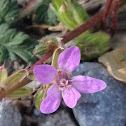stork's bill, filaree