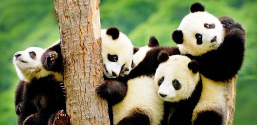 Panda Wallpaper - Aplikasi di Google Play f609838806