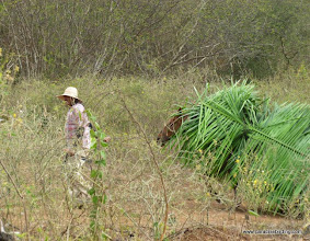 Photo: Local farmer and his horse harvesting palm fronds from the plantation at Chacalilla