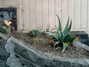 Photo: Part of ever-expanding succulent gardens that volunteers are donating, planting, and maintaining on the Hidden Garden Steps (16th Avenue, between Kirkham & Lawton streets, in San Francisco's Inner Sunset District), after clean-up on August 2, 2013. Planting gardens by those neighborhood volunteers, and completion of retaining walls by San Francisco Department of Public Works employees as part of erosion-control efforts, are among the final major tasks to be completed before the 148-step ceramic-tile mosaic by project artists Aileen Barr and Colette Crutcher can be installed. For more information about the Hidden Garden Steps project, please visit http://hiddengardensteps.org and/or follow us on Twitter (@gardensteps), Facebook (Hidden Garden Steps), and Google+.