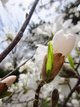 Photo: White magnolia about to bloom at Cox Arboretum in Dayton, Ohio.