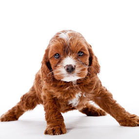 dipstick by Melanie Ayers Wells-Photography - Animals - Dogs Portraits ( cocker spaniel, white, puppy, brown, cute, melanie wells photography )