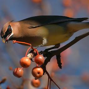 Cedar Waxwing by Andrew Johnson - Animals Birds ( bird, tree, nature, wildlife, animal, waxwing,  )